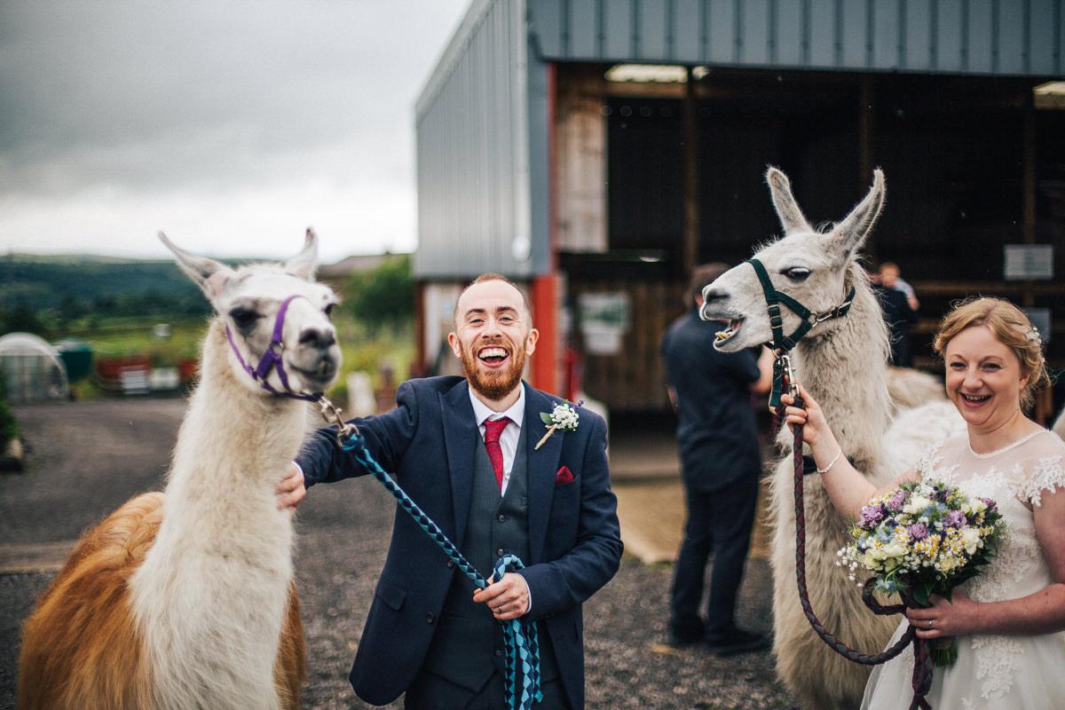 Llamas at Lancashire wedding venue