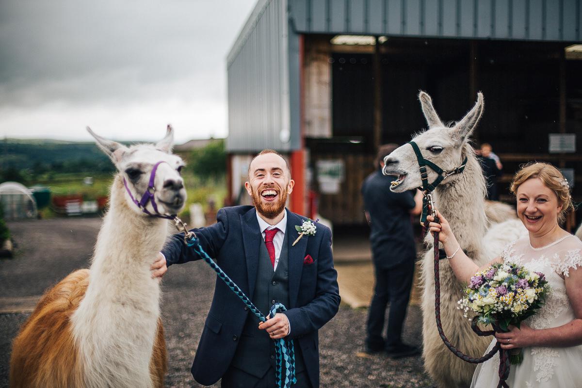 Wedding photos with the llamas at Wellbeing farm