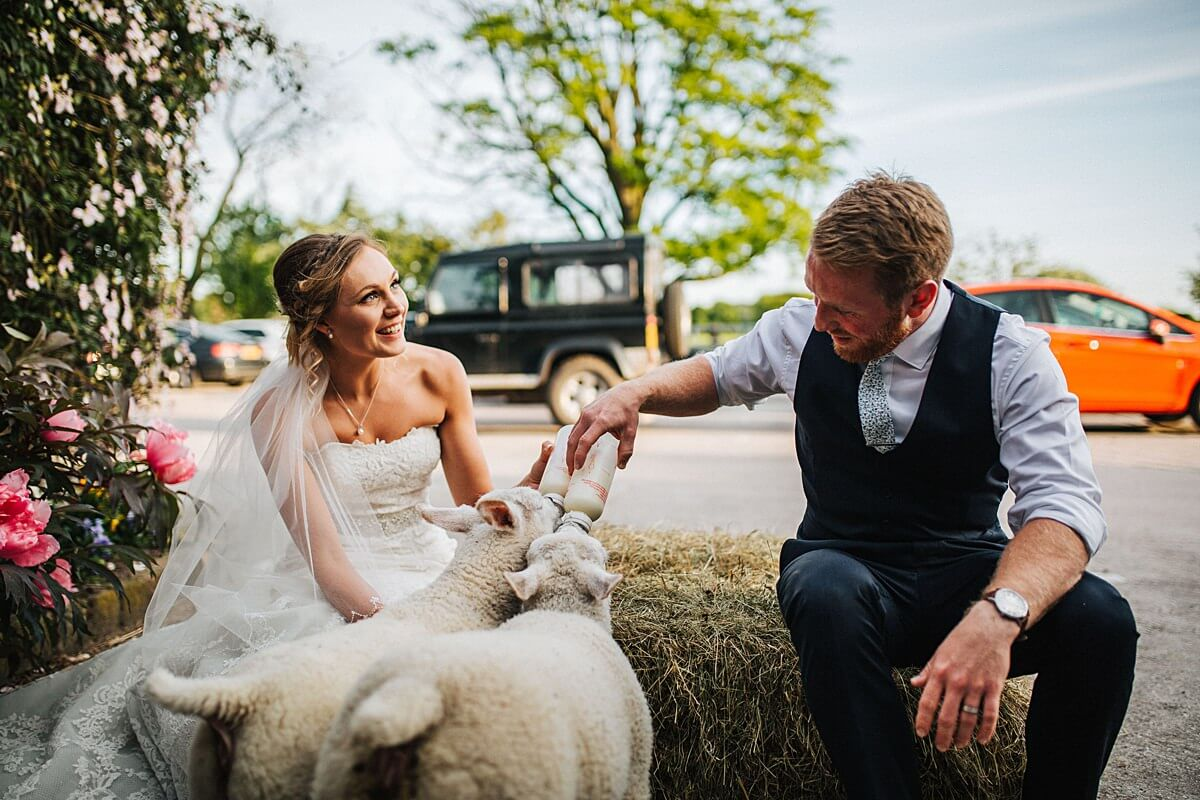 Feeding lambs at the farm on your wedding