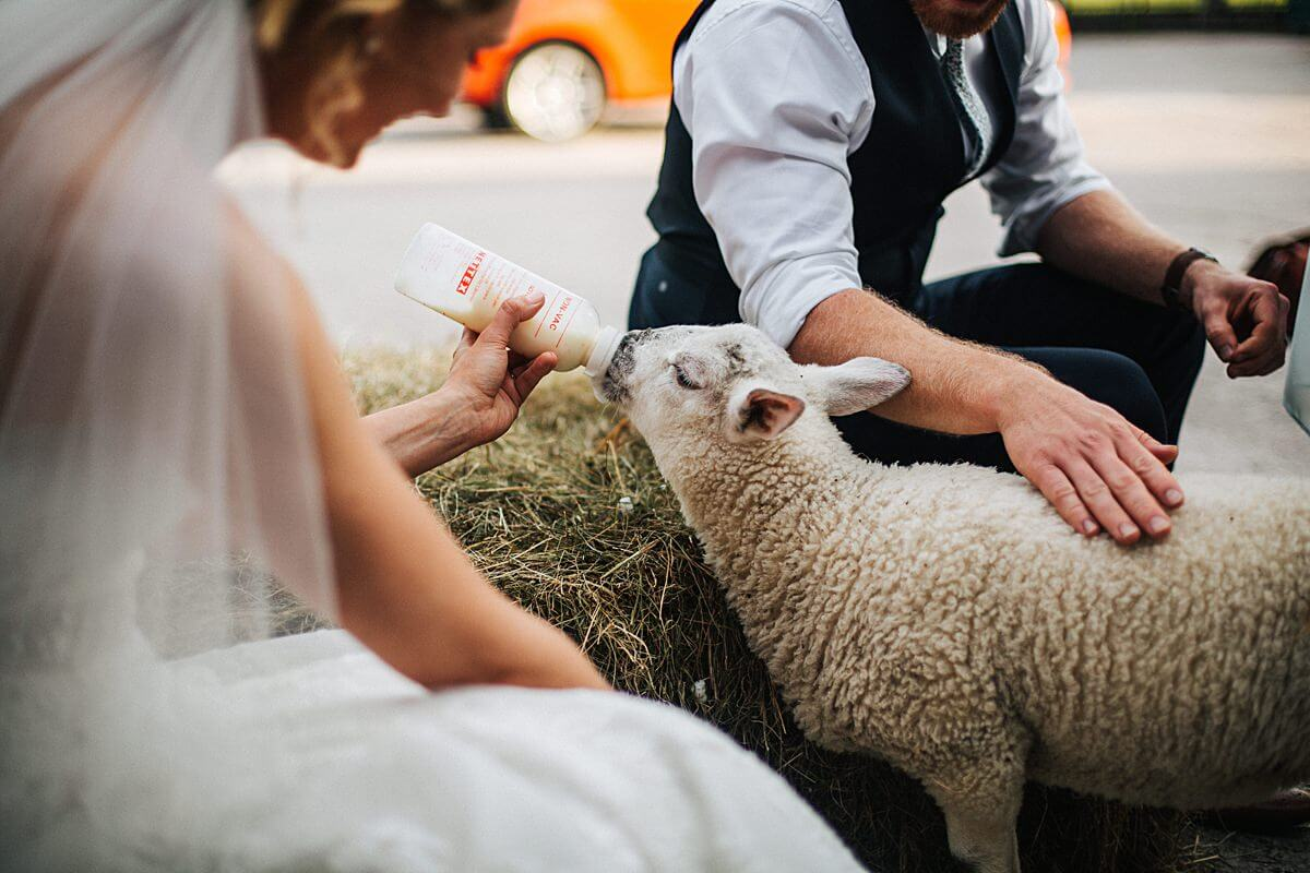 Lambs at the wedding